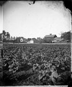 Tobacco Field with Farmstead in Background