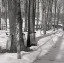 Maple Trees Tapped with Bags of Maple Sap