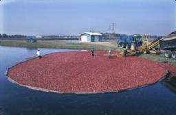 Men Harvesting Cranberries