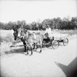 Man Driving Team of Mules Pulling Wagon