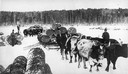 Hauling Logs With Oxen