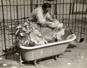 Circus Lion in a Bathtub