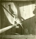 Passenger Pigeon: Profile View with Shadow