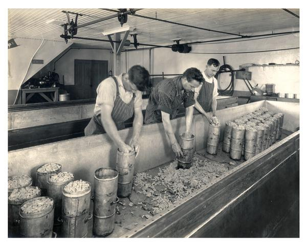 Workers hooping the curd to make cheddar cheese at the Plymouth Cheese factory.