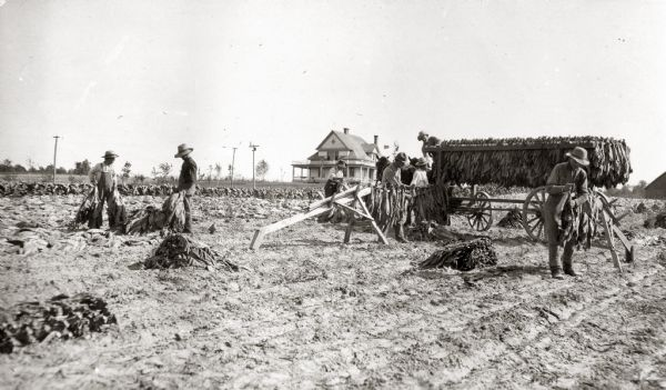 Farmers harvesting and loading tobacco on a tobacco rack to take to a shed.