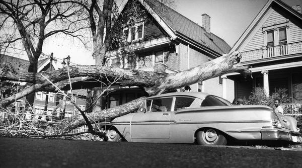 A man surveys the damage to his car, and the aged tree that toppled onto it.
