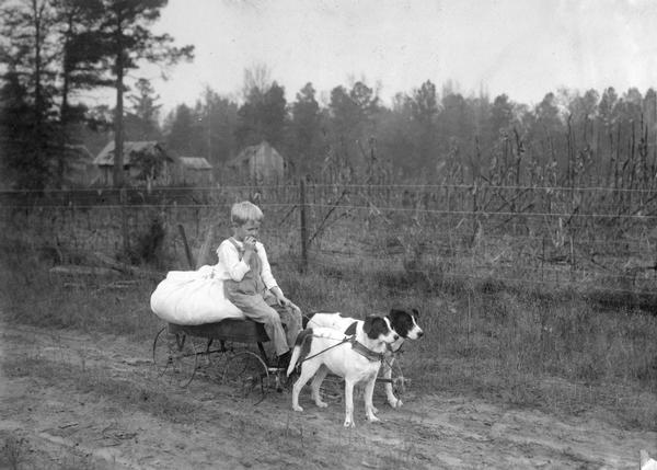 Young boy in a wagon pulled by two dogs near a cornfield.