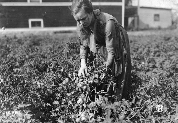 Woman handling tomato plants in a vegetable garden.