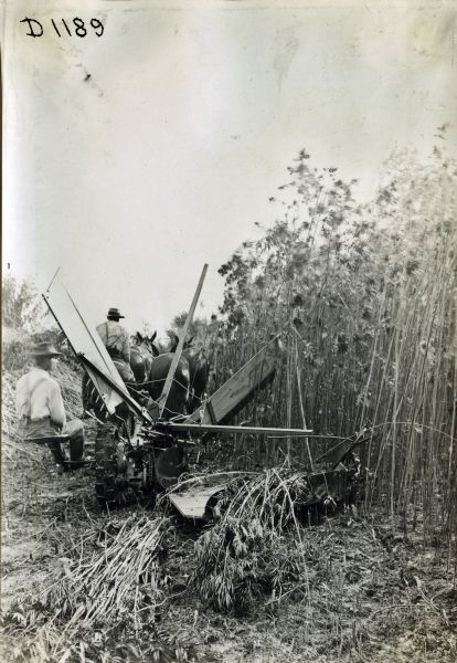 Men use a horse-drawn reaper(?) or hemp harvester(?) to harvest hemp in a field. The hemp was used to produce binder twine.