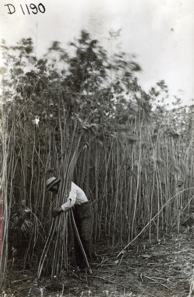 A man in a field gathers long stalks of hemp into a bundle. The hemp was used to produce binder twine.