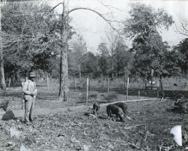 A man is holding corncobs in his hand while feeding several pigs on an International Harvester demonstration farm.