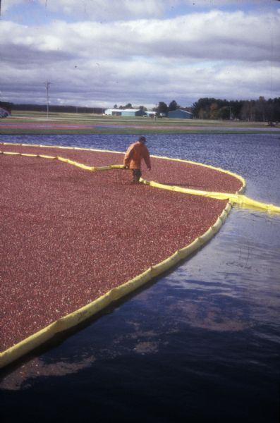 Cranberry harvest at Warrens, the self-proclaimed cranberry capital of Wisconsin.