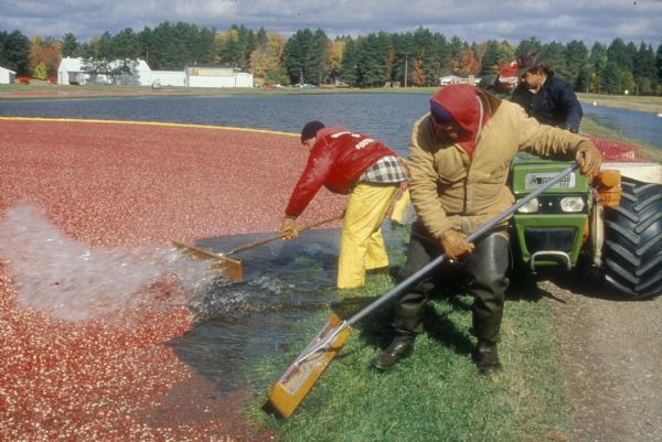 Cranberry harvest at Manitowish Waters.