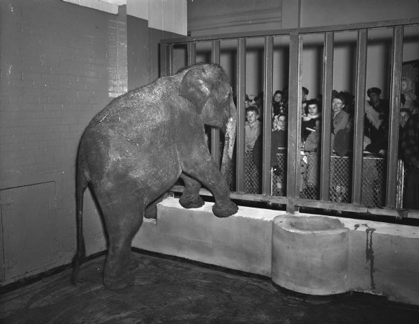 """The new Annie the elephant, left, standing with her forefeet on the rail of her new home at Henry Vilas Zoo (Vilas Park Zoo), greeting her juvenile public."""