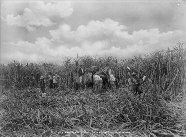 "Workers are shown cutting sugar cane in the fields near New Orleans, Louisiana. Text on photograph reads: ""Cutting Sugar Cane In Louisiana"""