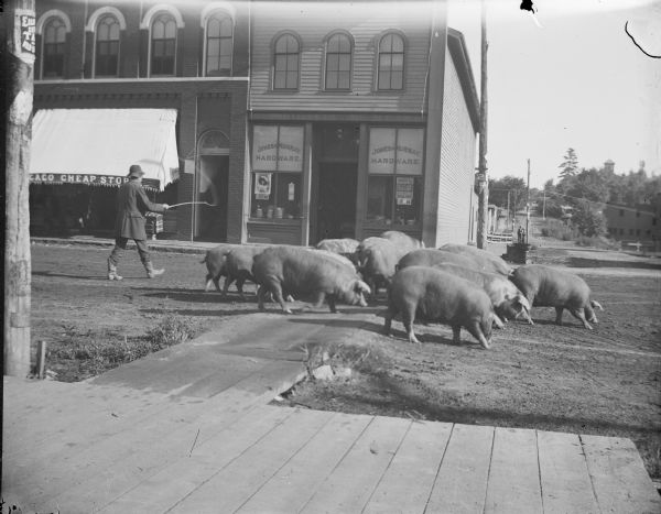 Bill Payne driving a herd of large hogs through town on Main Street, possibly on the way to Adam Best's Butcher's Shop. Storefronts identified, from left to right, include the Chicago Cheap Store, and Jones and Murray Hardware.