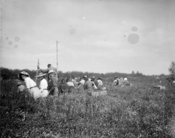 A group of men and women gather in a bog to pick cranberries.