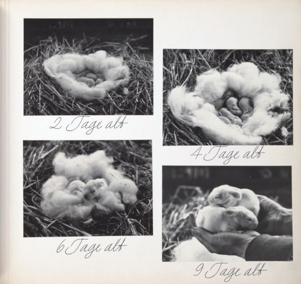 "Young angora rabbits at the ages of 2, 4, 6, and 9 days old. Text on page says, ""2 Tage alt"", ""4 Tage alt,"" ""6 Tage alt,"" and ""9 Tage alt."""