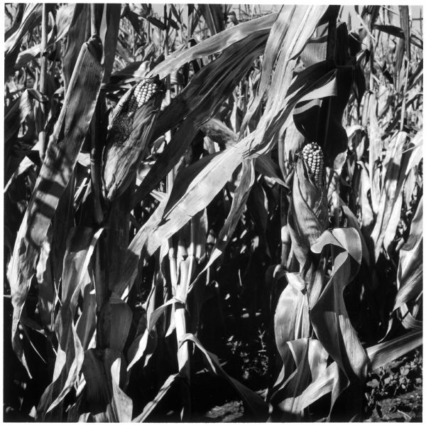 Close-up view of the corn stalks on the Quinney farm.