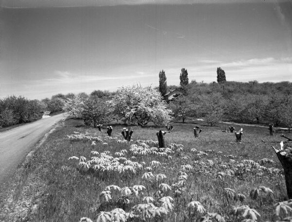 Apple orchard in blossom on the side of a road. There are a number of cut stumps in the foreground. A house is visible in the background, as well as a watchtower.