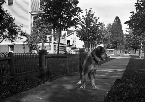 A large dog stands on a wooden sidewalk in a residential neighborhood.