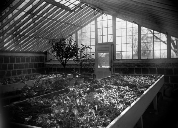 View of the interior of a greenhouse at the Winnebago County School of Agriculture and Domestic Economy.