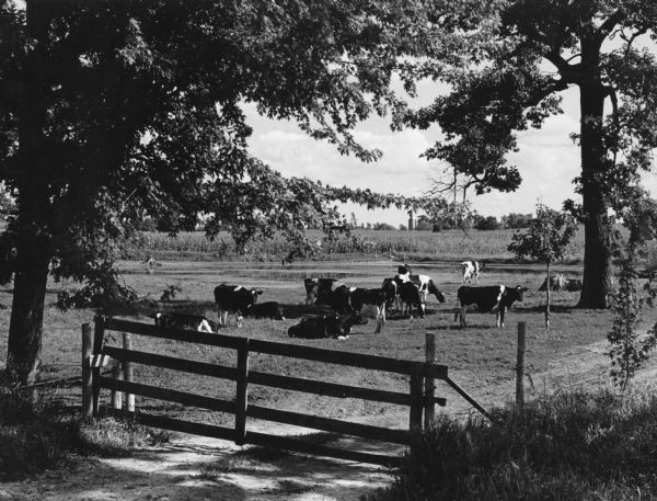 Much of the milk purchased by Widmer's is from Holstein Cattle, as seen grazing in this peaceful country scene.