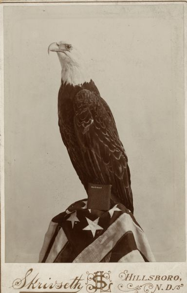 Stuffed Old Abe, the Wisconsin Civil War eagle, perched on an American flag with a copy of the New Testament propped in front.