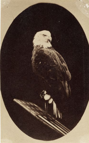 Old Abe, eagle mascot of the 8th Wisconsin Volunteer Infantry. Old Abe is perched on a plank of wood with the American flag painted on it.  The portrait is masked into an oval shape.
