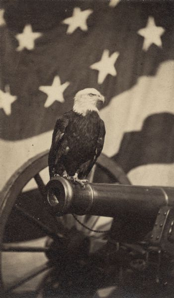 Old Abe, eagle mascot of the 8th Wisconsin Volunteer Infantry, perched  at the end of a cannon looking left with the American flag in the background. Served as the model for the eagle on the Wisconsin monument at Vicksburg, Mississippi.