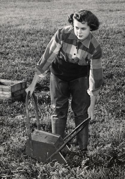 Woman using a cranberry rake to harvest cranberries near Wisconsin Rapids.