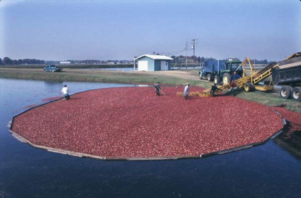 Elevated view of harvesters wading through cranberries contained by booms to feed them onto a conveyor to be loaded into the waiting trucks.