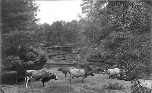 Cows near Gates Ravine (Glen Eyrie). There is a bridge over a river in the background.