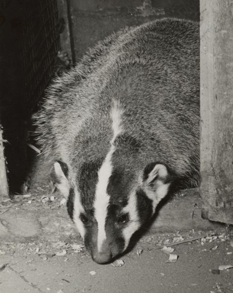 A badger peers out of a door to an enclosure.
