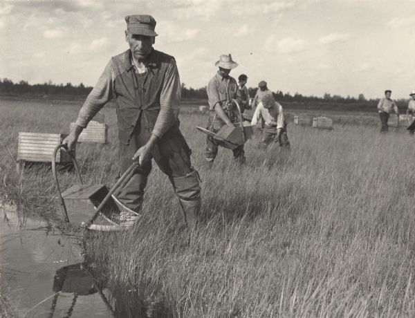 A group of cranberry harvesters at work.