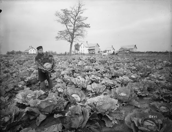 Five-acre cabbage field of Martin Anderson near Grantsburg, with several frame houses in the background. Mr. Anderson is holding a prize-winning head of cabbage for the photographer.