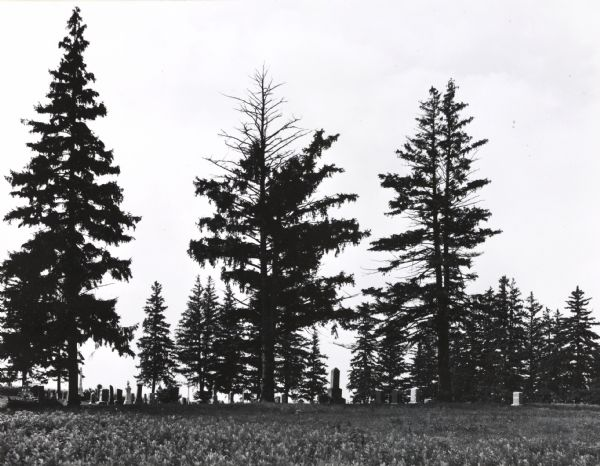 Country cemetery among tall, dark evergreen trees.