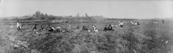 Panoramic slightly elevated view of Winnebago (Ho-Chunk) Indians harvesting cranberries by hand at Gebhart's Marsh.