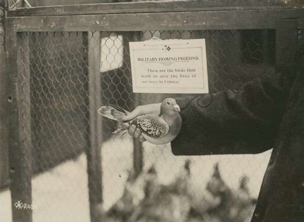 "Outdoor photograph of a man's arm and hand holding a military homing pigeon. A sign on the cage in the background reads: ""Military Homing Pigeons. These are the birds that work to save the lives of our boys in France."""