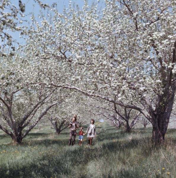 A family is walking through an apple orchard, blooming with white flowers. The mother is holding her daughters hand, and the father is carrying another child on his back.
