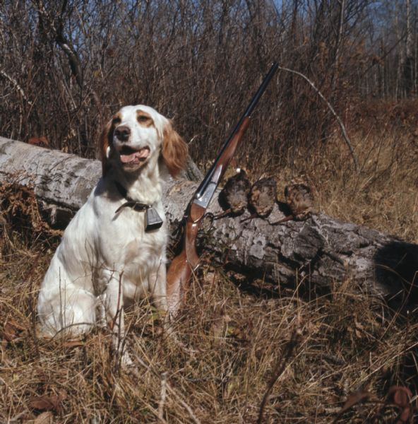 A hunting dog is sitting in the tall grass in front of a log, which has a rifle propped against it near three woodcocks.