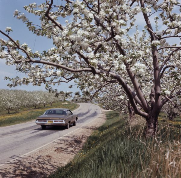 View from side of road towards an automobile driving down a road. Apple trees in an orchard are blooming on both sides of the road.