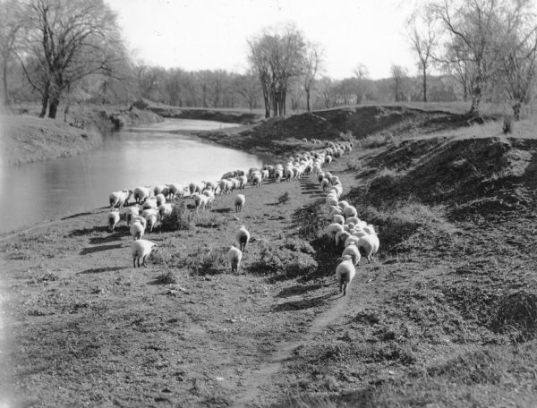 "A flock of sheep walking along the bank of a small winding river. There are trees in the background. A typewritten note on the reverse states: ""A scene in Columbia County. Wisconsin has 466,000 sheep and lambs."""