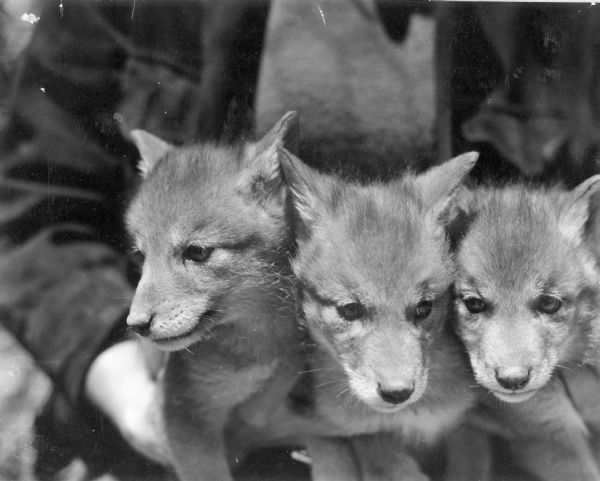 An unidentified person is holding three wolf pups, or cubs, at the State Experimental Game and Fur Farm.