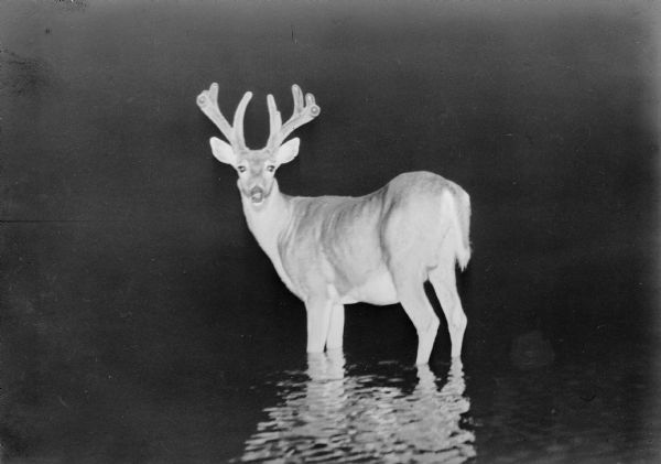 A flash photograph of a large whitetail buck standing in shallow water of the Brule River.