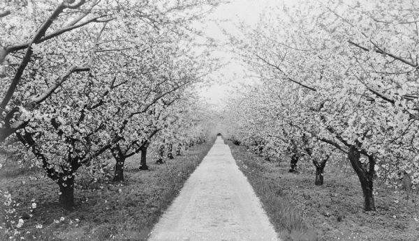Cherry trees in full bloom line an unpaved narrow lane.