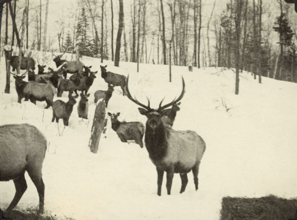 Elk on a snowy hillside among trees. There are bales of hay in the foreground.