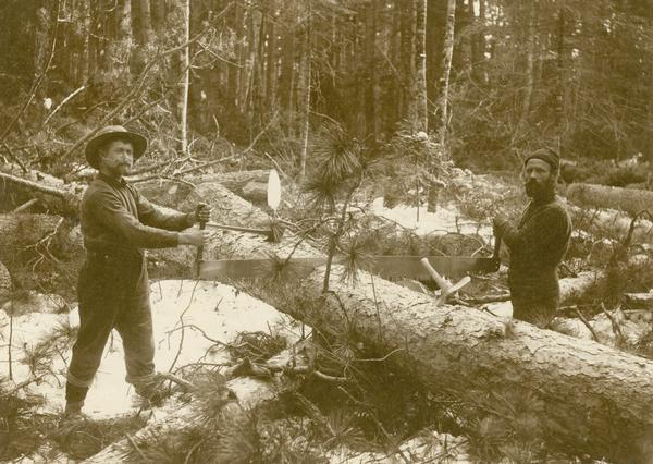 Two lumbermen posing with a two-man crosscut saw they are using on a fallen tree trunk, cutting the pine into manageable sizes for hauling.