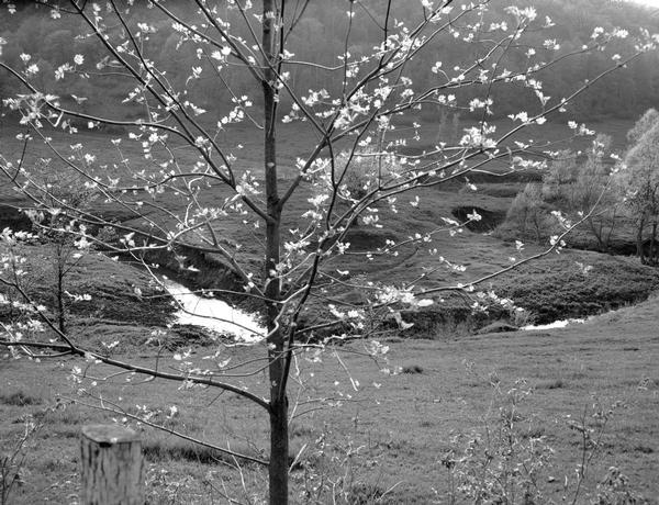 A twisting pasture stream as seen through a flowering tree.