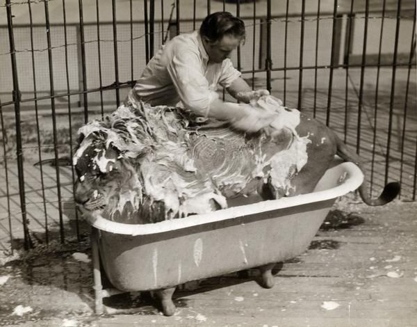 A circus lion, covered by soapy lather, is bathed in a free-standing bathtub inside a cage.